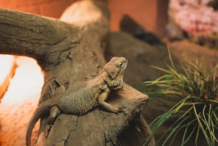 What to Feed Bearded Dragons?