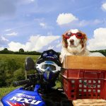 Is It Legal to Carry a Dog on a Motorcycle